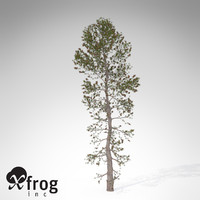 XfrogPlants Japanese White Pine