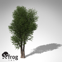 max xfrogplants laurel tree