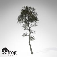 XfrogPlants Aleppo Pine