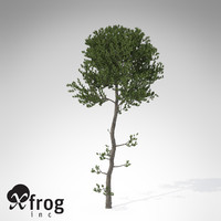 XfrogPlants Sea Pine