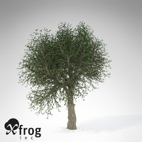XfrogPlants Cork Oak