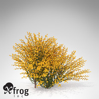 XfrogPlants Spanish Broom