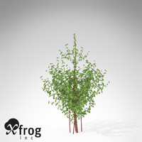 3dsmax xfrogplants cornelian cherry dogwood