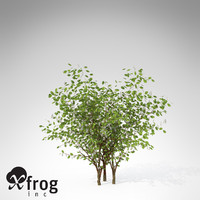 3d xfrogplants european bird-cherry europe