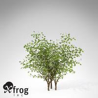3d xfrogplants european bird-cherry europe