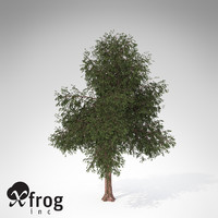 XfrogPlants Pacific Yew