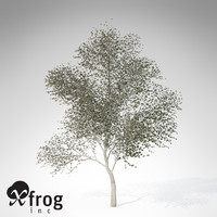 3d model xfrogplants white poplar tree