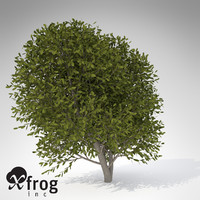 XfrogPlants Cherry Laurel