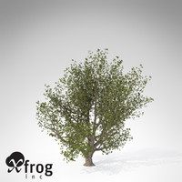 XfrogPlants English Oak