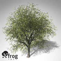 XfrogPlants White Willow