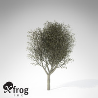 3d xfrogplants silver linden tree model