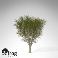 maya xfrogplants japanese zelkova tree