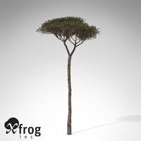 italian stone pine tree 3d model