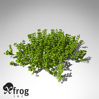 XfrogPlants Grape Caulerpa