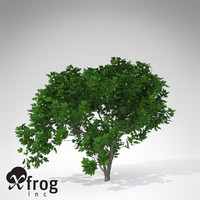 XfrogPlants Fig Tree