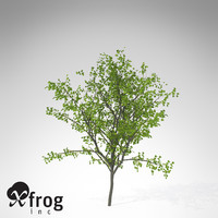 XfrogPlants European Buckthorn