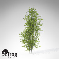 XfrogPlants European Aspen