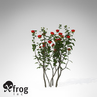 XfrogPlants Hundred-leaved Rose