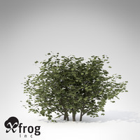 xfrogplants european cranberry bush lwo
