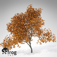 lightwave xfrogplants vine maple tree