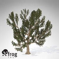 3d xfrogplants pinyon pine tree model