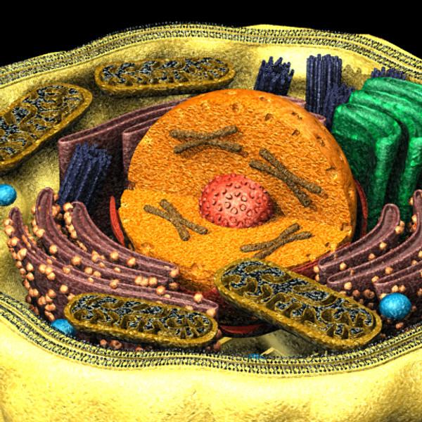 Human Cell 3d Model