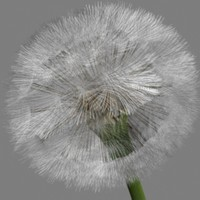 dandelion spores 3d model