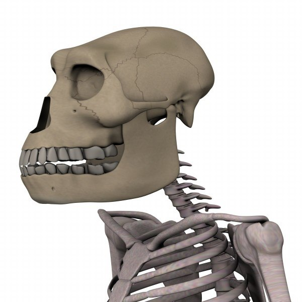 australopithecus3_render.jpg