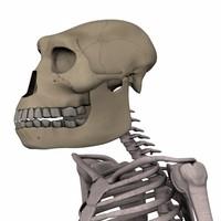 3d australopithecus afarensis model