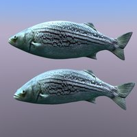 fish trout 3d model