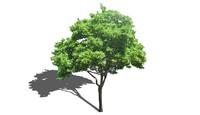 deciduous tree 3d 3ds
