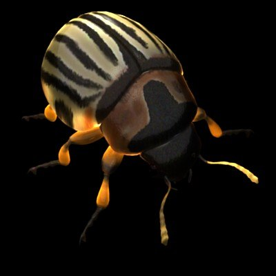 potato beetle.jpg