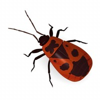 3d model pyrrhocoris apterus