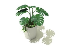3d philodendron selloum model