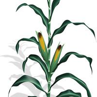 corn plant 3d pz3
