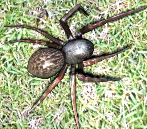 Spider  White Tail