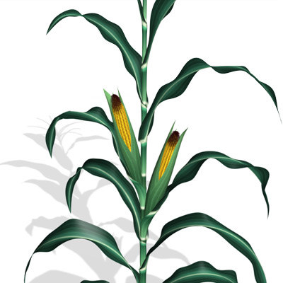 corn003.jpg