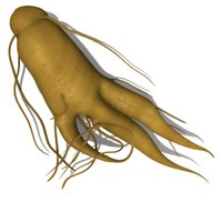 ginseng root 3d 3ds