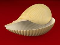 3d seashell tonna