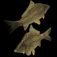 Carp (Freshwater Fish)
