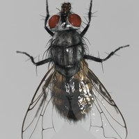 3d photorealistic housefly model