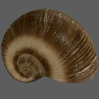 maya snail shell