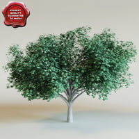 3d model cocoloba diversifolia