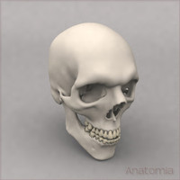 3d male human skull bone