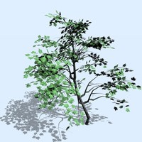 maple tree 3d c4d