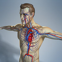 circulatory male human body max
