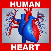Human Heart Model (No Textures)
