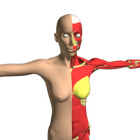 3d female skeleton muscles skin model