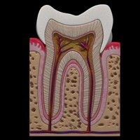teeth anatomy 3d model