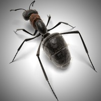 carpenter ant 3d model